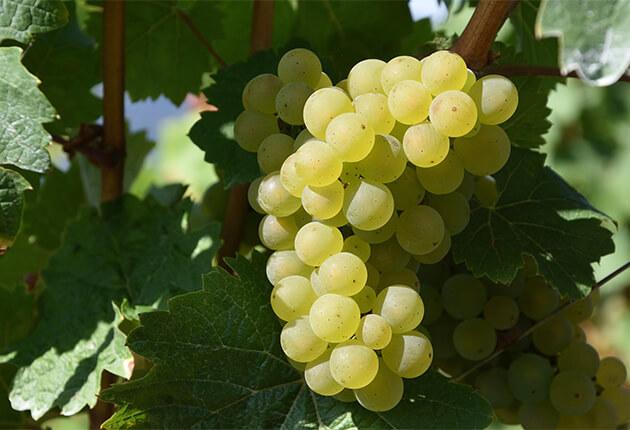 シェリーのブドウ