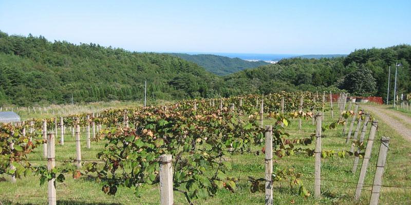 海が見える葡萄畑